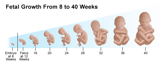 Embryonic and fetal development; Embryo and Fetal Development