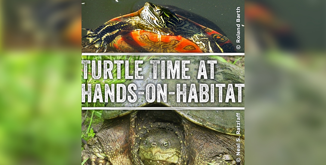Turtle Time at Hands-on-Habitat